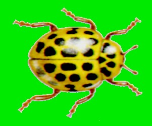 coccinelle jaune 22 points